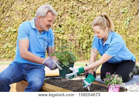 Landscape Gardener And Apprentice Planting In Flower Bed