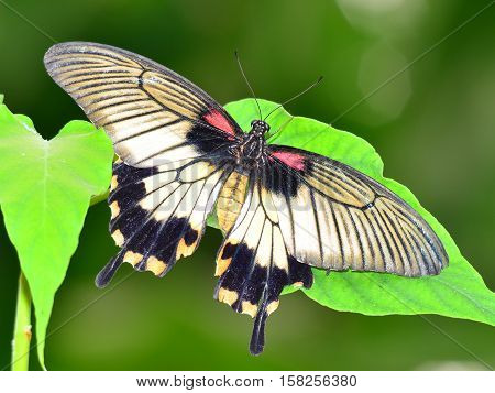 butterfly papilio memnon sitting on a gren leaf
