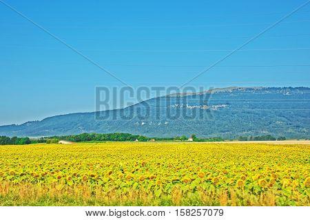 Sunflower Yverdon Les Bains Jura Nord Vaudois Vaud Switzerland