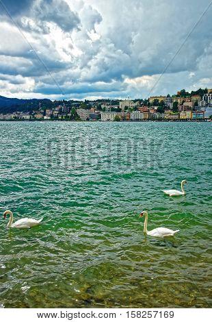 Swans At Promenade In Lugano In Ticino Of Switzerland