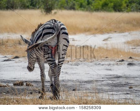 Heavily injured and wounded zebra walking and grazing in Moremi NP, Botswana, Africa. The left hind leg must have been attacked by a lion or leopard and the animal could flee.
