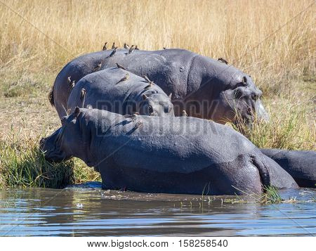 Group of three hippos with birds sitting on them emerging from river water to graze on shore, safari in Moremi NP, Botswana, Africa.