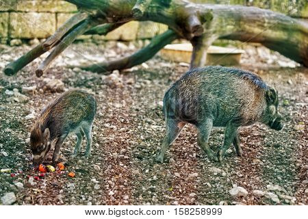 Visayan Warty Pig In Zoo In Citadel Of Besancon