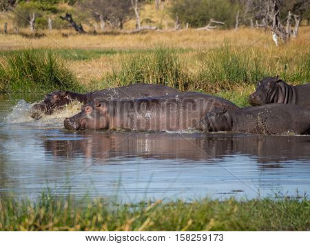 Group or family of hippos fleeing into river with water splashing and spraying, Safari in Moremi National Park, Botswana, Africa