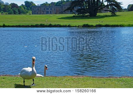 White Swans In The Park In Leeds Castle Uk