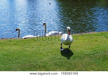 White Swans In The Park In Leeds Castle