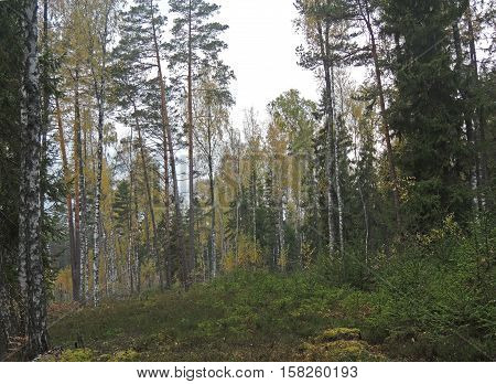 Fall forest taiga birch pine tree yellow leaves