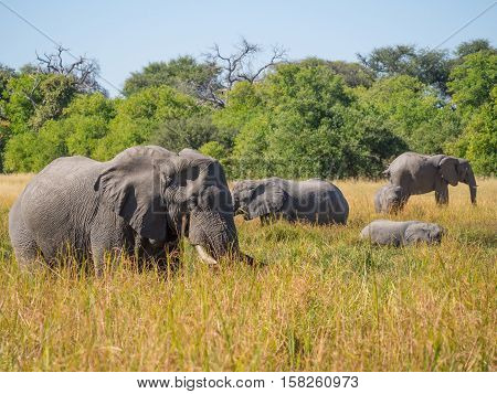 Large herd of African elephants grazing in tall river grass with green trees in background, safari in Moremi NP, Botswana, Africa.