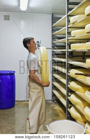 Worker Removing Aging Comte Cheese In Maturing Cellar In Dairy