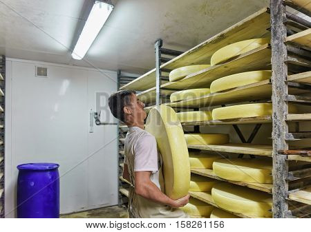 Worker Removing Aging Comte Cheese In Ripening Cellar In Dairy
