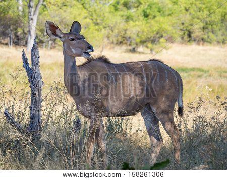 Big greater kudu female antelope standing in shade in savannah scenery next do dead tree, safari in Moremi NP, Botswana, Africa.