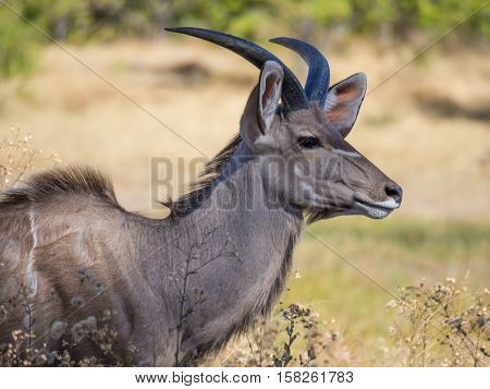 Large male greater kudu antelope with large horns portrait in savannah scenery, Moremi NP, Botswana, Africa.