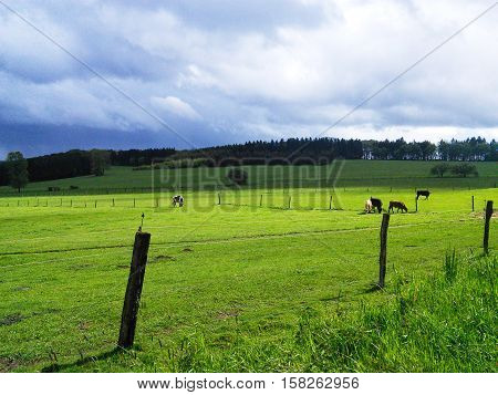 Pasture in countryside landscape with cows and fence. Green grass and blue sky shiny weather. Milk production in agriculture industry