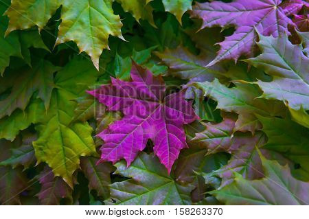maple leaves in yellow and green colors with a large bright pink purple leaf in the middle of the photo, crisp, dark, autumn view, processed, nature close-up, full of color, background