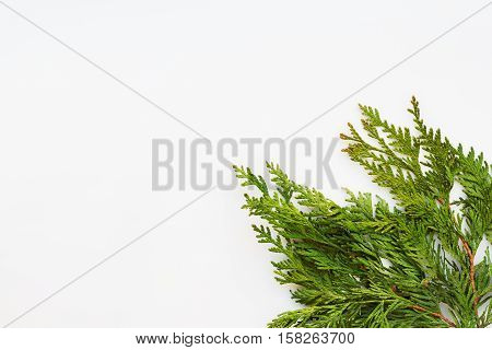 Clear white background with thuja branches. Place for text. Flat lay top view.