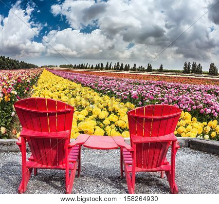 Pair of bright plastic garden chairs. Multi-color field of large garden buttercups. Spring flowering ranunculus