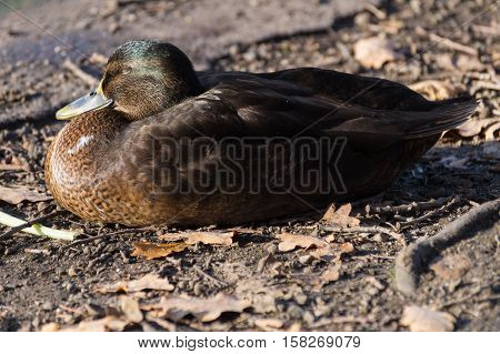 Beautiful sleeping mallard duck at the lake. Sleeping ducks