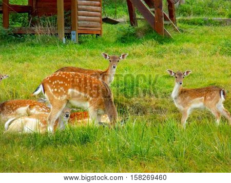 Fallow deer family on meadow during day