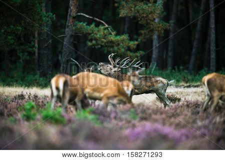 Roaring Red Deer Stag Between Herd Of Hinds In Mating Season. National Park Hoge Veluwe.