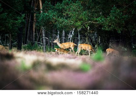 Red Deer Doe With Drinking Calf At Edge Of Forest. National Park Hoge Veluwe.