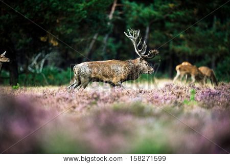 Red Deer With Dirty Antlers Walking In Heath Field. National Park Hoge Veluwe.