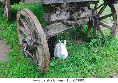 Rabbits on the grass under the wooden cart