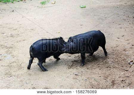 Fuss of the black pigs on the dirt road