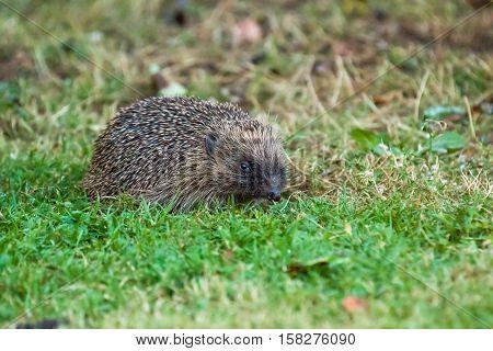 European Hedgehog foraging for food stamps in garden at dusk.