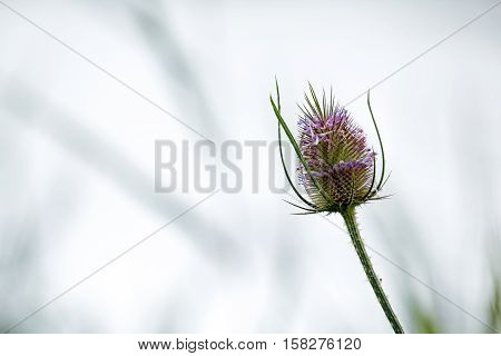 Teasel flower head with space for copy or text