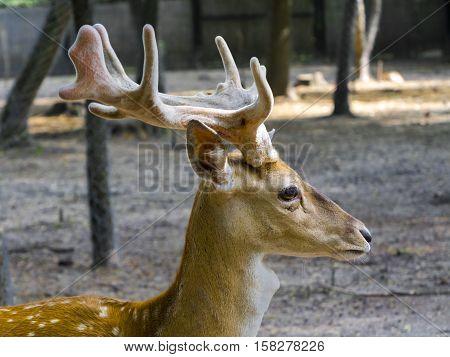 Persian fallow deer Dama mesopotamica male portrait