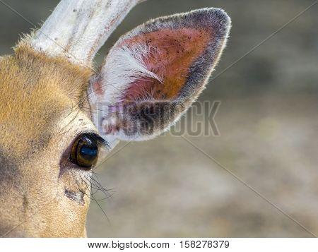 Persian fallow deer Dama mesopotamica eye and ear