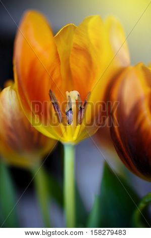 Natual vivid fresh orange and red tulip with transversale cut. Tilt-shift lens used for a softer and romantic effect.