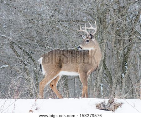 Whitetail Deer Buck standing in the snow.