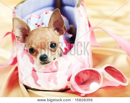 Funny Chihuahua puppy. The smallest breed of dog poster