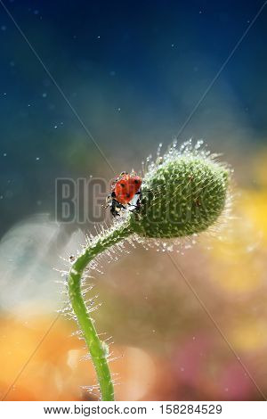 Photo taken in spring in my garden. It is a ladybird which likes walks in the green stalk of the poppy