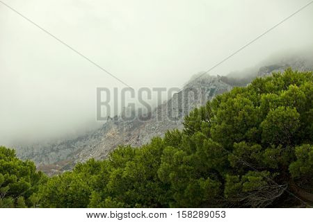 Pine forest on the background of a mountain range on a foggy day. Thick pine, green needles. Against the background mountains in fog. Grey cloudy day. Hike through the mountains and forest. Extreme Sports, Climbing.