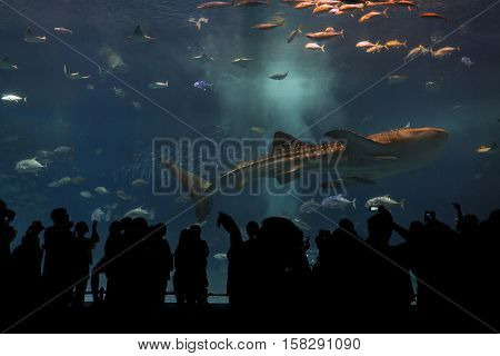 Okinawa Japan - October 22 2016: Silhouettes of people to see giant whale shark underwater in Churaumi Aquarium the place located within the Ocean Expo Park in Okinawa Japan
