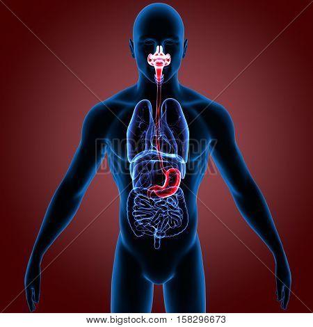 Human Digestive System Anatomy. 3D Render system