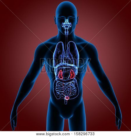 3D rendering Human Kidneys Anatomy Illustration.  system