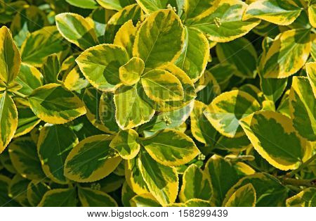 Closeup of yellow and green leaves of euonymus fortunei background texture