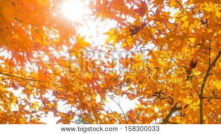 Maple leave in autumn and background concept - Beautiful orange maple leaves in autumn season with sunlight background
