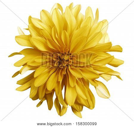 yellow flower on a white background isolated with clipping path. Closeup. big shaggy flower. Dahlia.