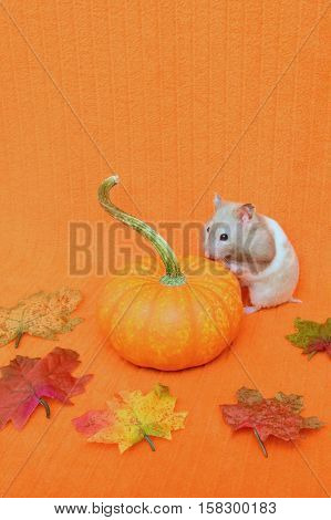 Halloween or Thanksgiving theme with a hamster looking at a mini pumpkin. The background is an orange blanket.
