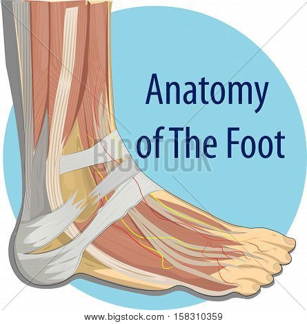 Vector illustration Graphic Anatomy of the Foot