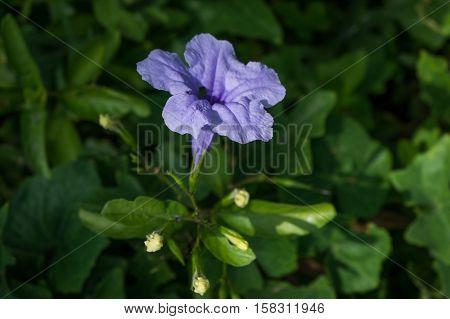 Purple flowers, purple rain is often spontaneously.