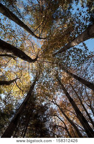 Low angle view of tree trunk tops with yellow maple leaves on the branches facing towards a blue sky in Autumn. Troodos mountains Cyprus