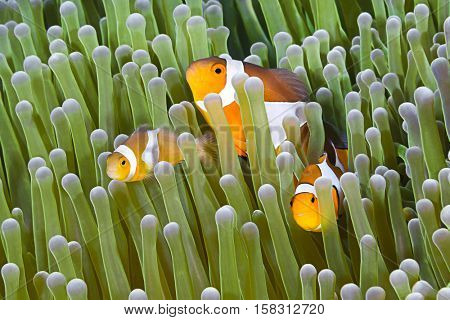 Clownfish, Amphiprion ocellaris, hiding in host sea anemone Heteractis magnifica.