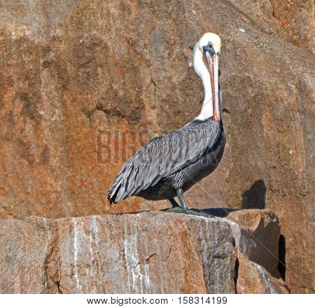 Male Pelican perched on cliff on Los Arcos in Cabo San Lucas Baja Mexico