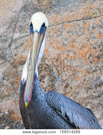 Male Pelican perched on cliff on Los Arcos / Lands End in Cabo San Lucas Mexico