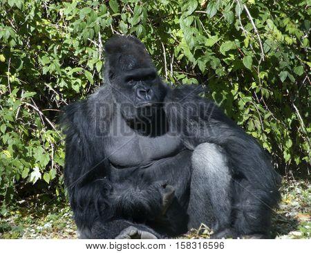 Silverback gorilla sitting green vegetation, California, USA